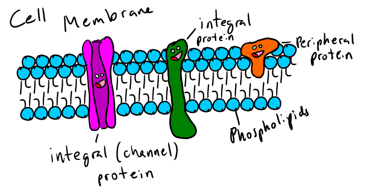 720x381 Cell Membrane By H2ohauck