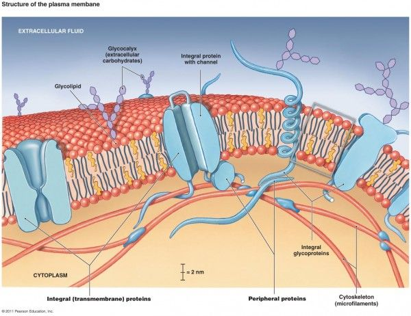 600x462 Collection Of Ap Biology Cell Membrane Transport Drawing