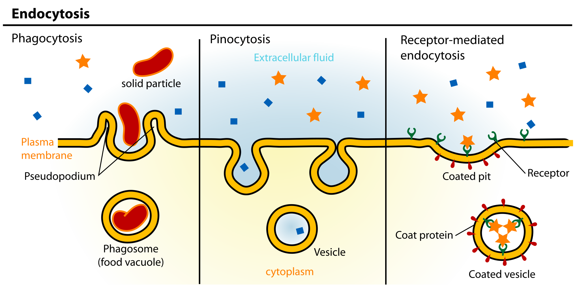2000x1000 Endocytosis