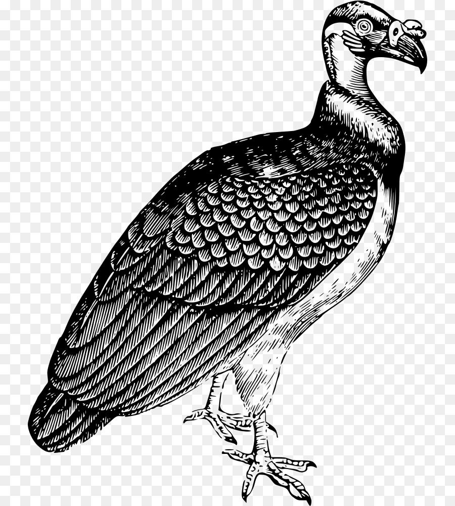 900x1000 Turkey Vulture Drawing King Vulture Clip Art