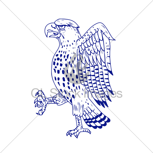 500x500 Sharp Shinned Hawk Marching Drawing Gl Stock Images