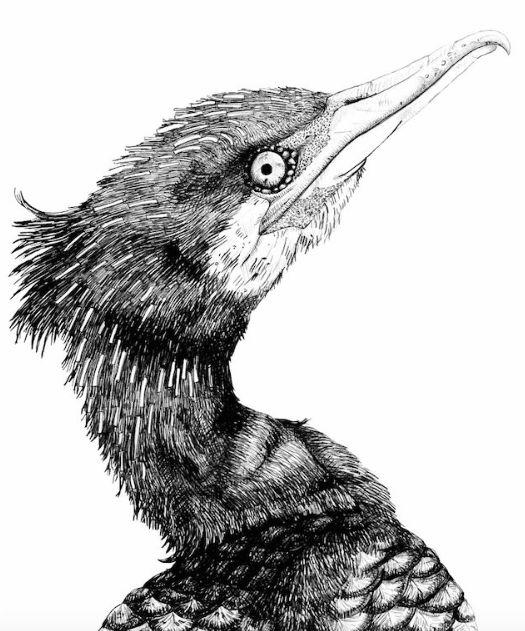 Cormorant Drawing