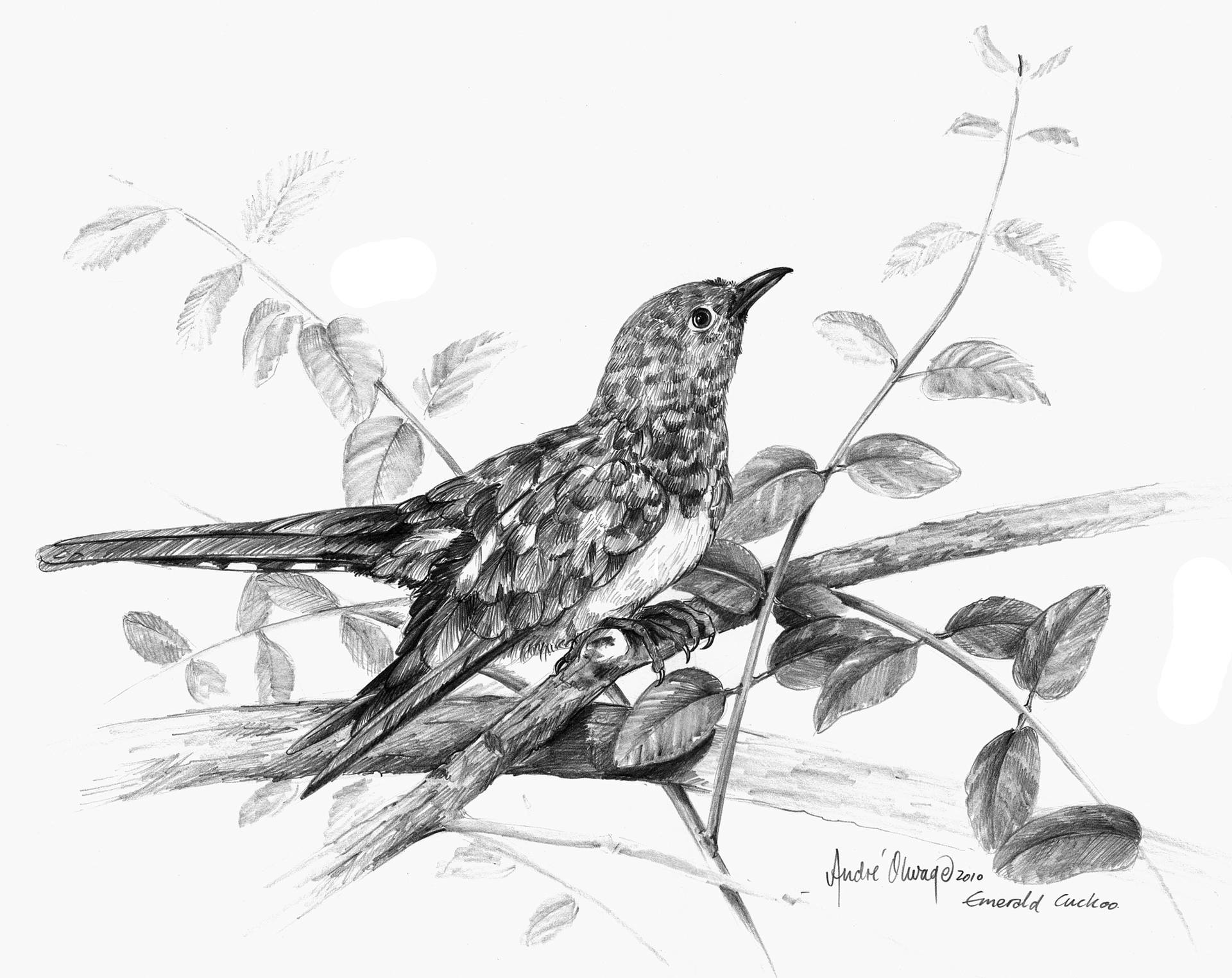 1920x1524 Saatchi Art Emerald Cuckoo Drawing By Andre Olwage