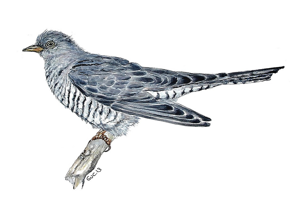 1024x688 Common Cuckoo (Watercolor) Guc92