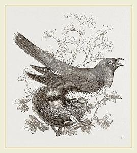 269x300 Cuckoo Drawings Pixels