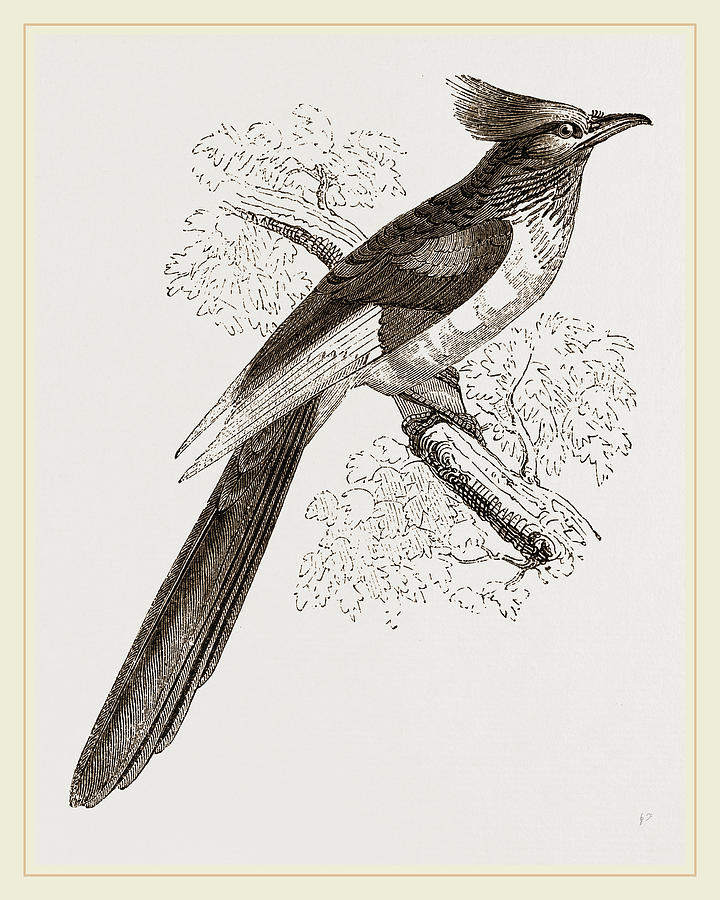 720x900 Le Vaillants Cuckoo Drawing By Litz Collection
