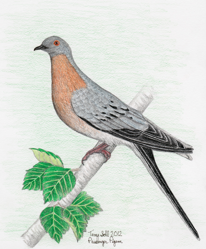 701x850 Passenger Pigeon