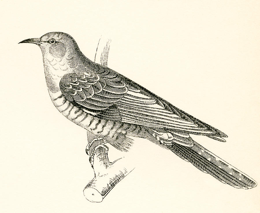900x737 The Common Cuckoo, Cuculus Canorus Drawing By Vintage Design Pics