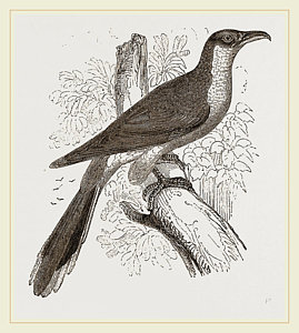 269x300 Yellow Billed Cuckoo Drawing By Litz Collection