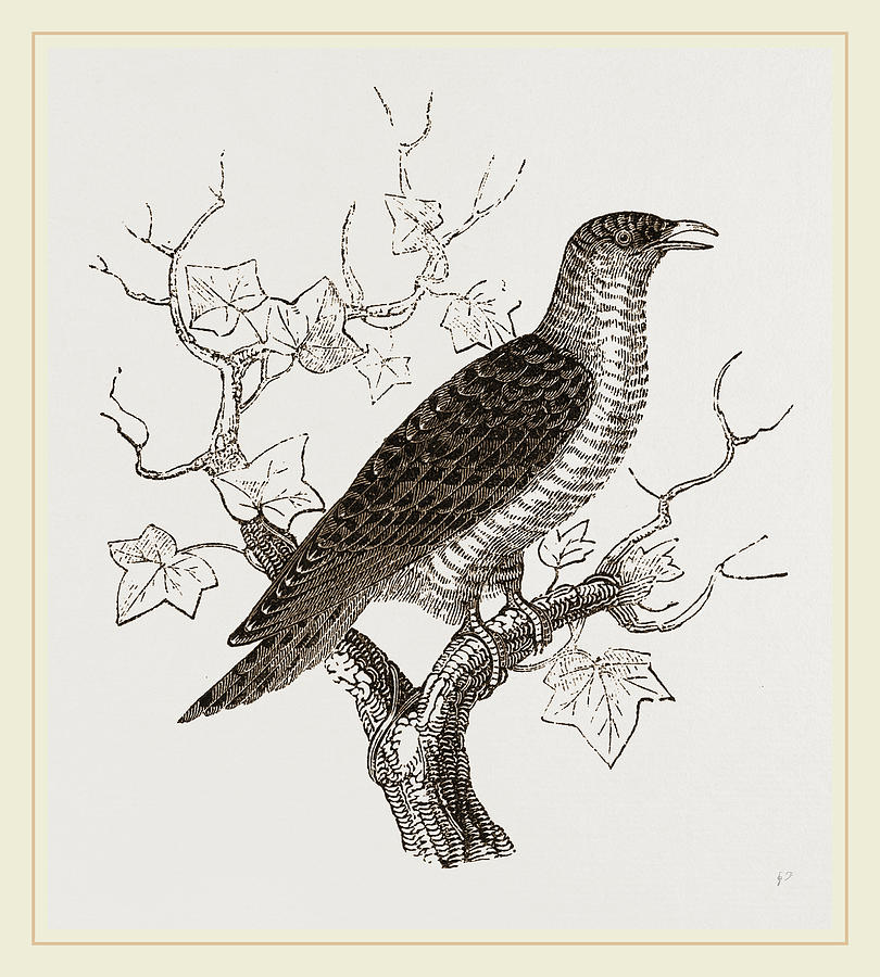 810x900 Young Cuckoo Drawing By Litz Collection