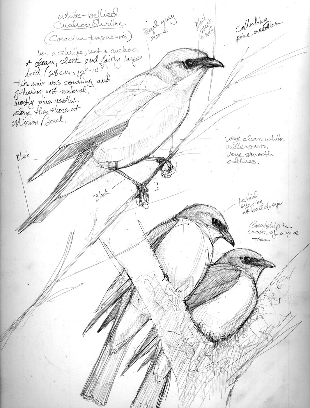 1065x1400 Australia Sketchbook Drawing The Motmot