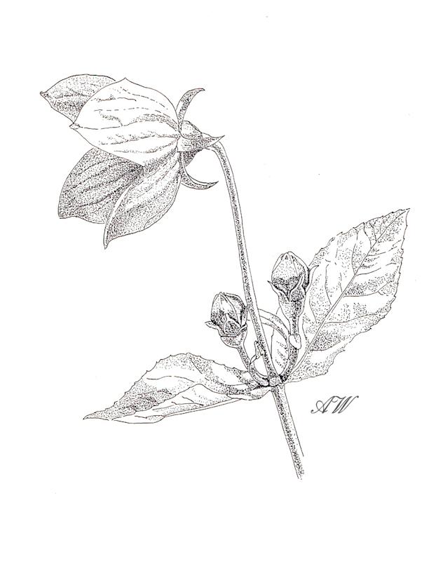 Cyclamen Drawing