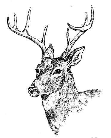 Deer Lying Down Drawing