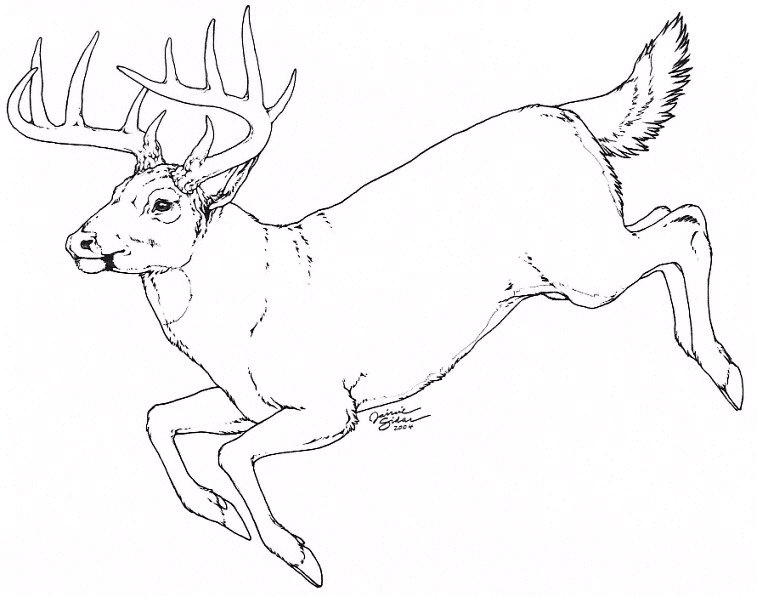757x597 How To Draw A White Tailed Deer Step 7. Whitetail By Emryswolf