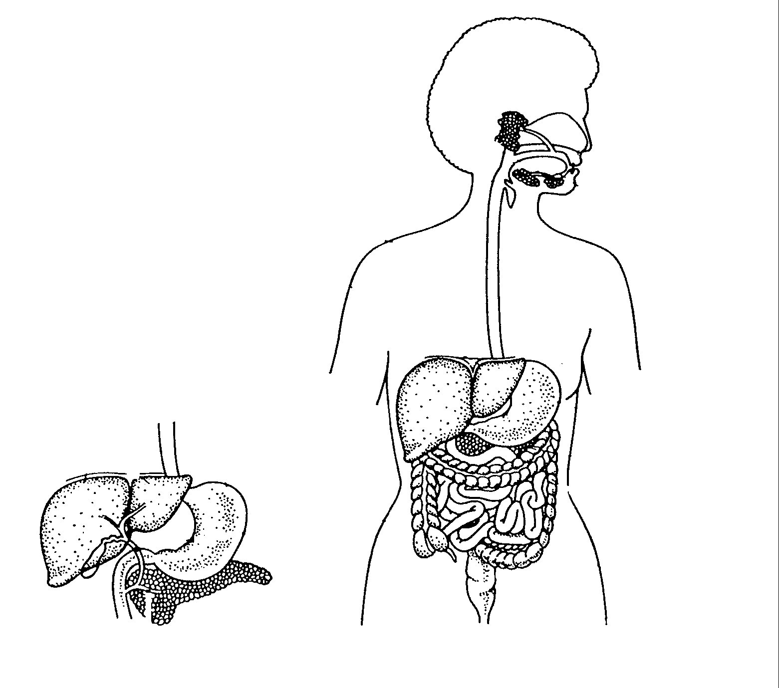 1561x1379 Draw And Label The Human Digestive System Photos Human Digestive