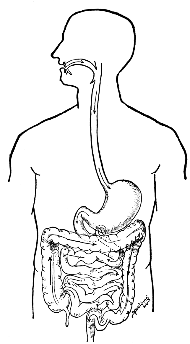 643x1163 Digestive System Coloring Pages Digestive System Coloring Page