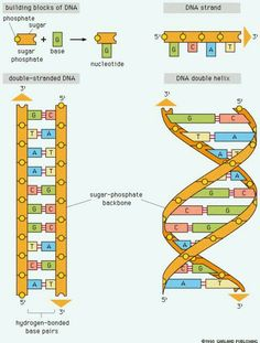 Dna drawing labeled at getdrawings free for personal use dna 236x311 here is a diagram of dna which is much easier to understand than ccuart Gallery