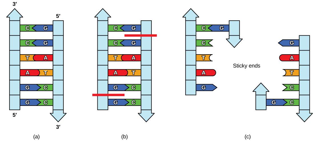 Dna Ladder Diagram Simple Wiring Diagrams Best