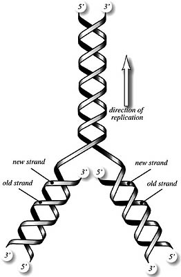 262x400 Collection Of Dna Replication Drawing High Quality, Free