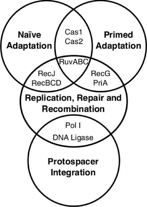 476x671 The Interplay Between The Effectors Of Dna Replication, Repair