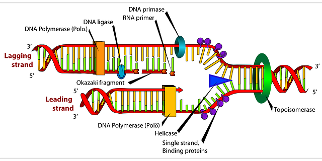 640x320 Collection Of Dna Replication Drawing With Labels High