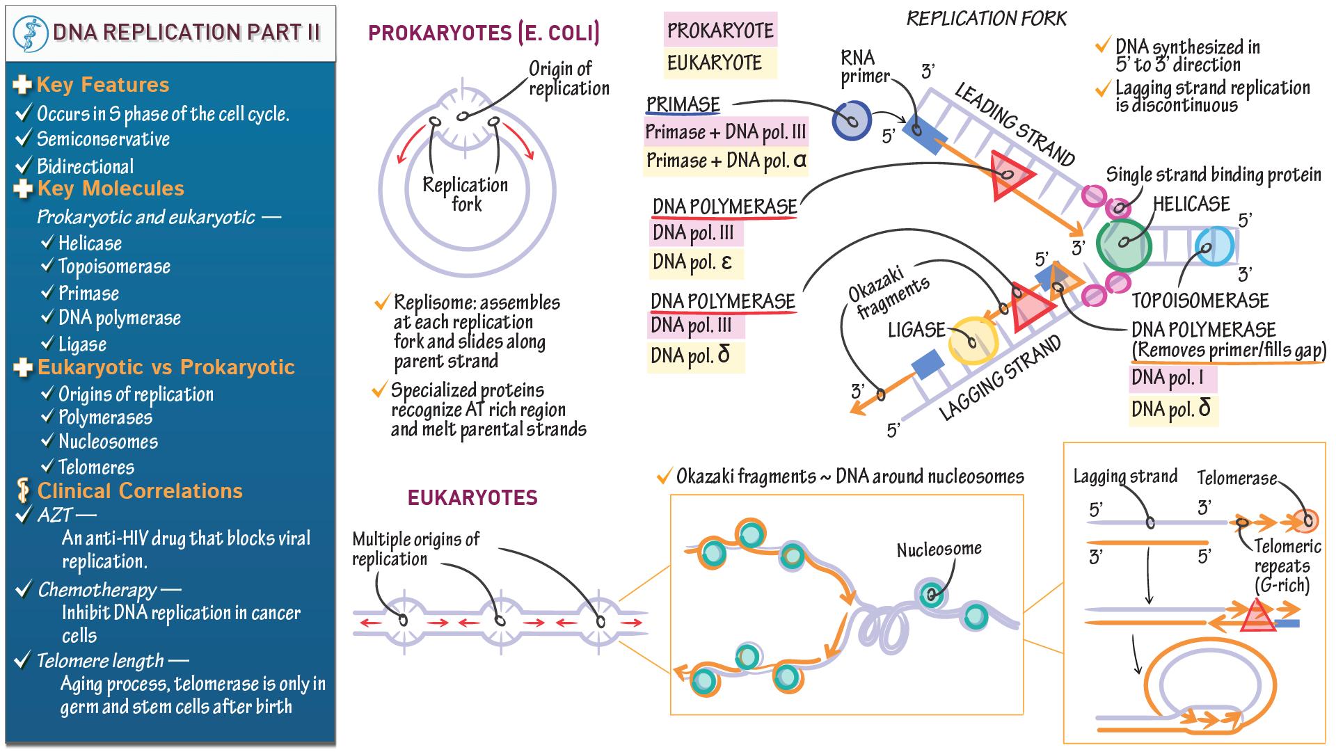 1920x1081 Biochemistry Fundamentals Dna Replication Part Ii Draw It