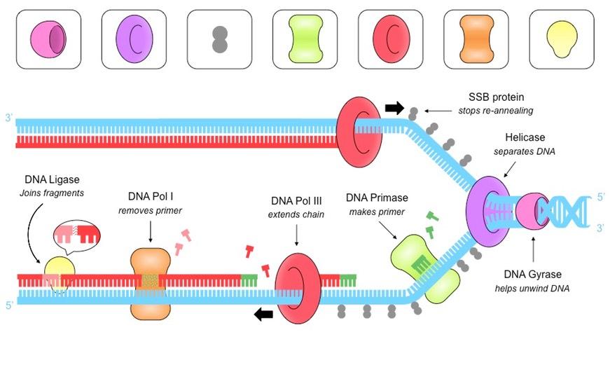 871x521 Dna Replication (Hl) Bioninja