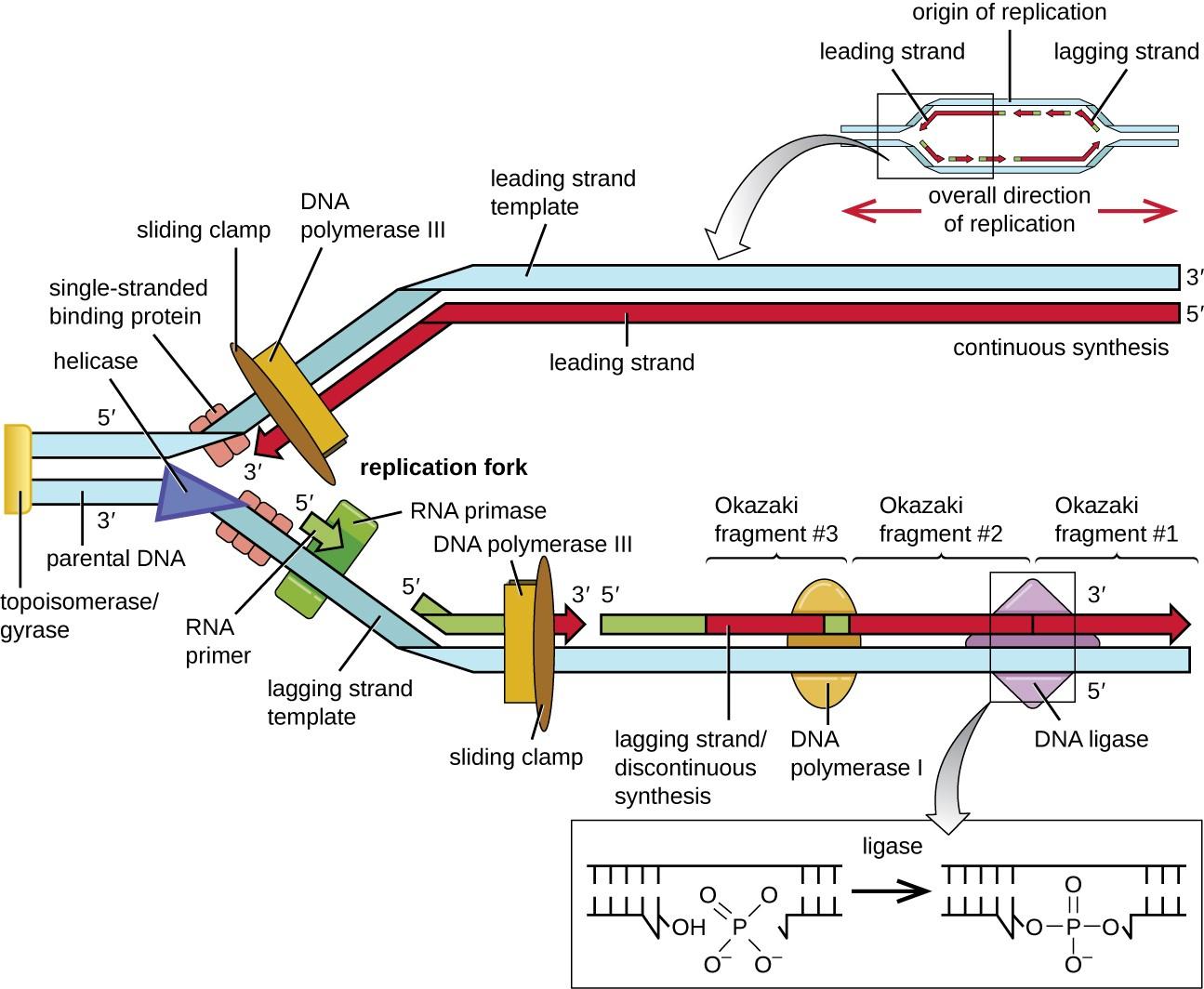 1295x1064 Dna Replication Microbiology