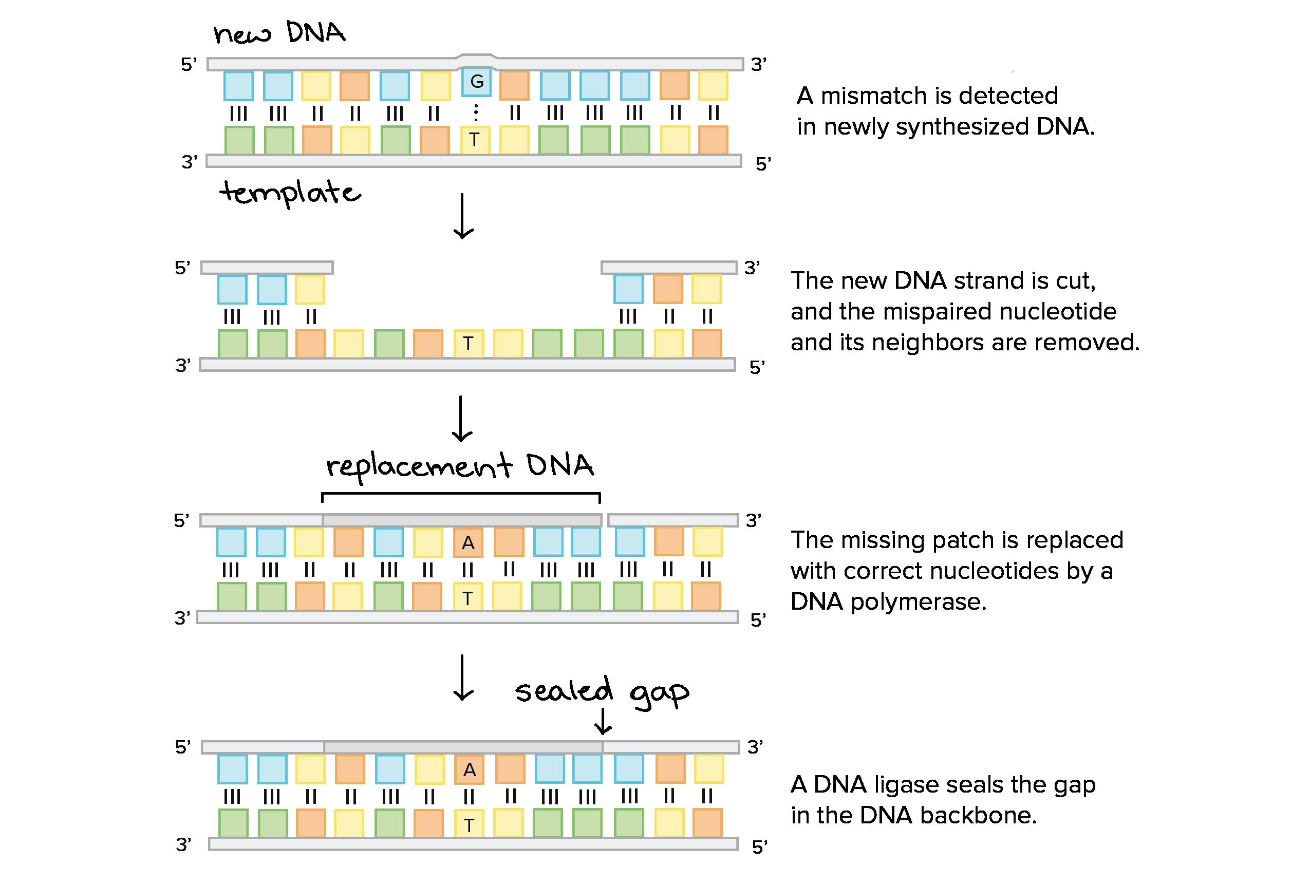 2550x1721 Molecular Mechanism Of Dna Replication (Article) Khan Academy
