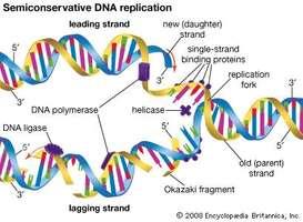 273x200 Semiconservative Dna Replication (Genetics)
