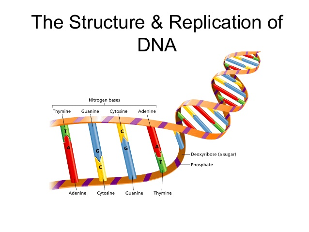 638x479 Dna Replication Essay Weekly Essay Prompts Fall Semester Ppt