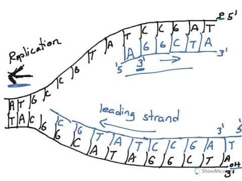 480x360 Dna Replication (Leading Vs Lagging Strand)