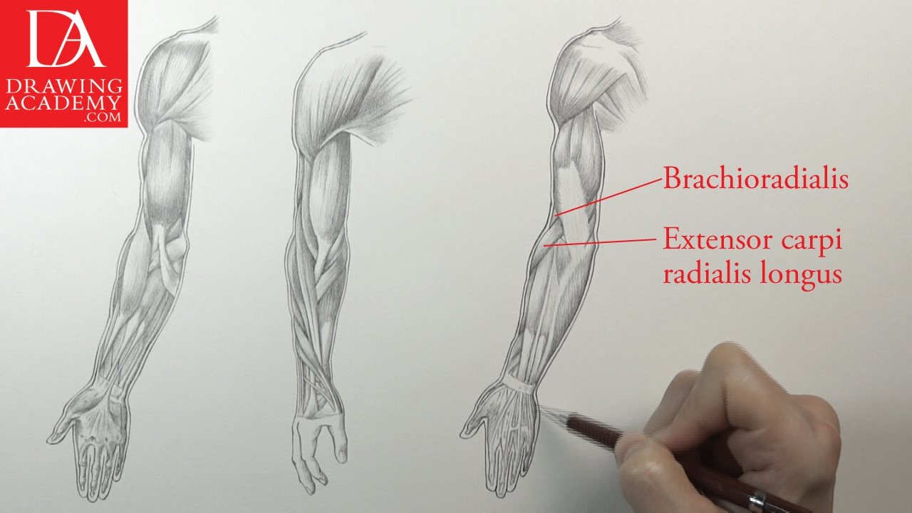 1280x720 Human Arm Muscle Anatomy Muscles Of An Arm