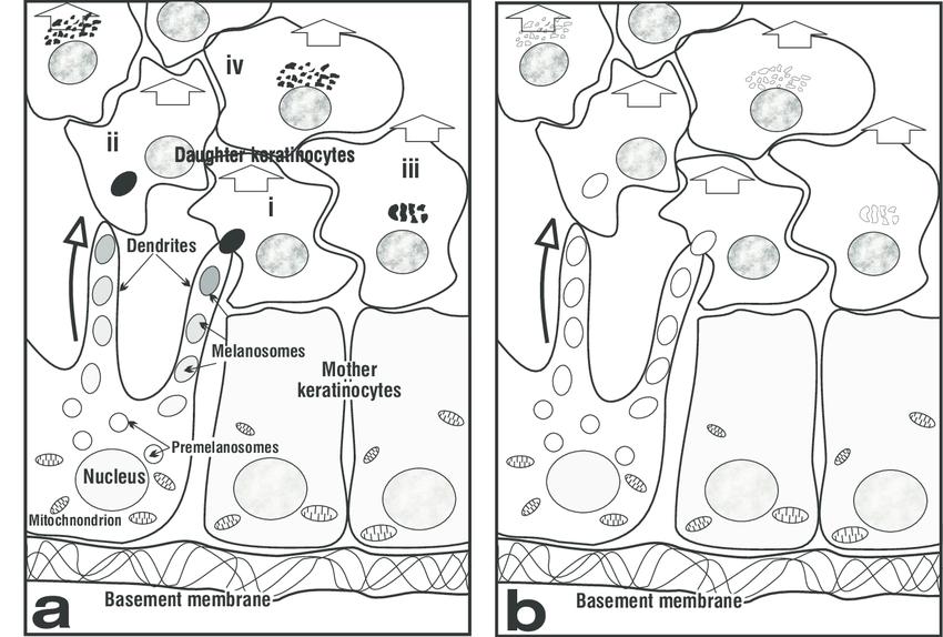 Drawing Of Cytoplasm
