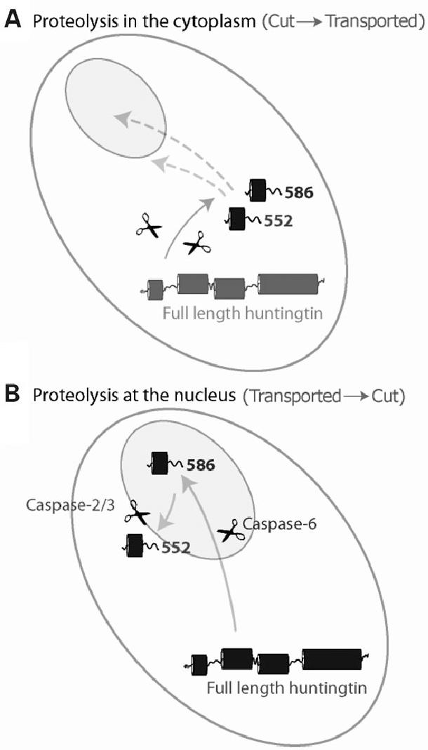 Drawing Of Cytoplasm At Getdrawings Com