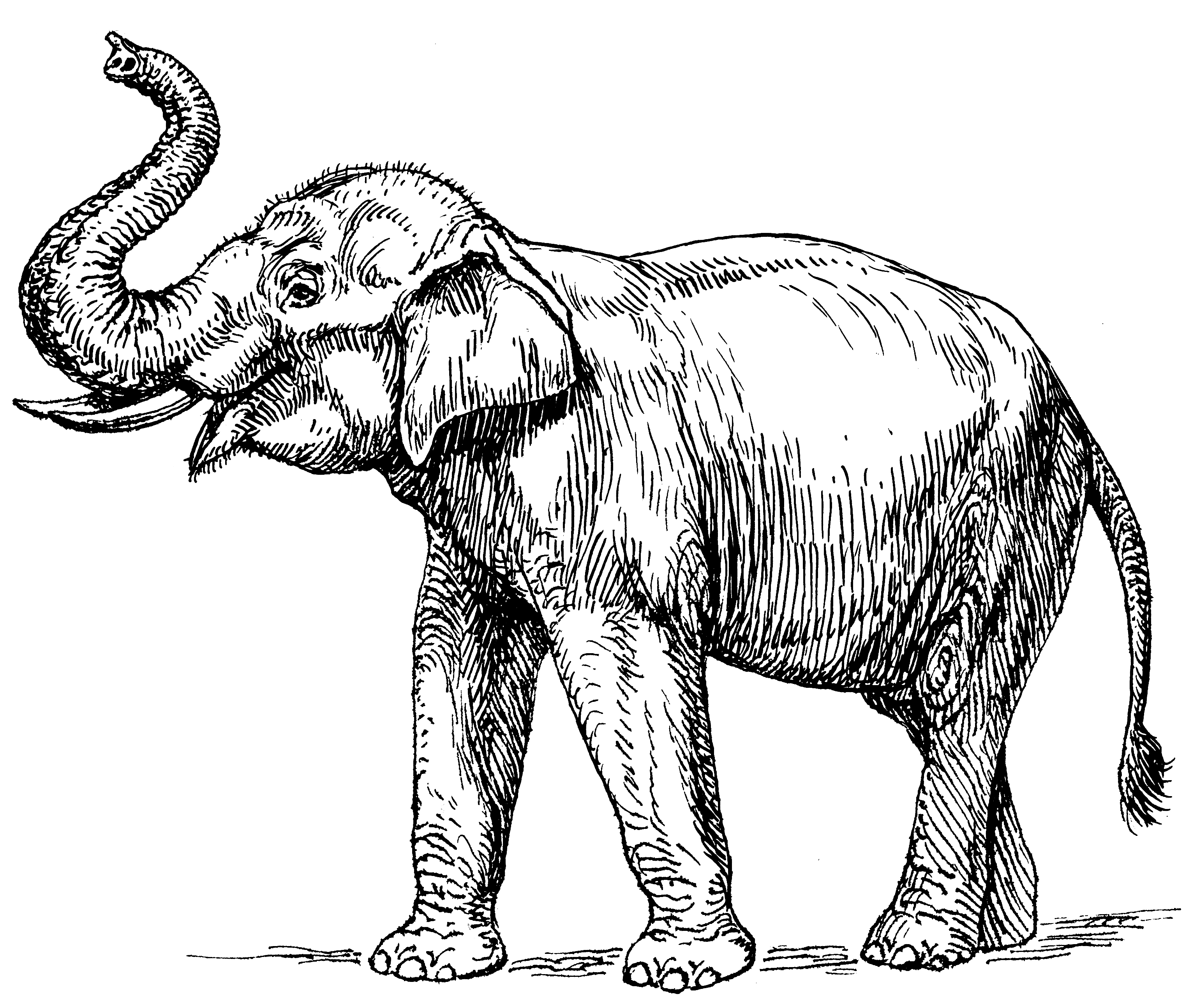 Drawing Of Indian Elephant at GetDrawings.com | Free for personal ...