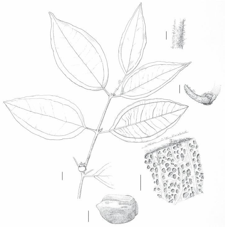 725x733 Rhodamnia Toratot N. Snow. Drawing Of Isotype