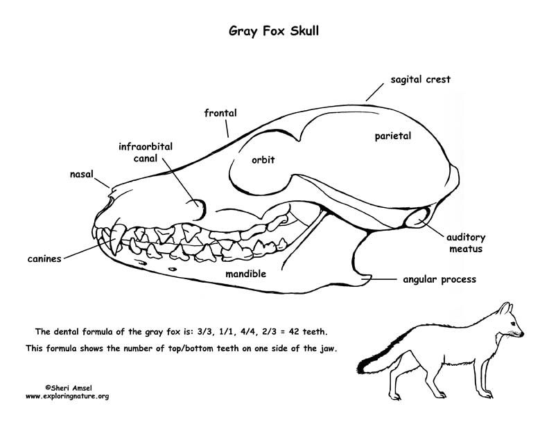 792x612 Gray Fox Skull Diagram And Labeling