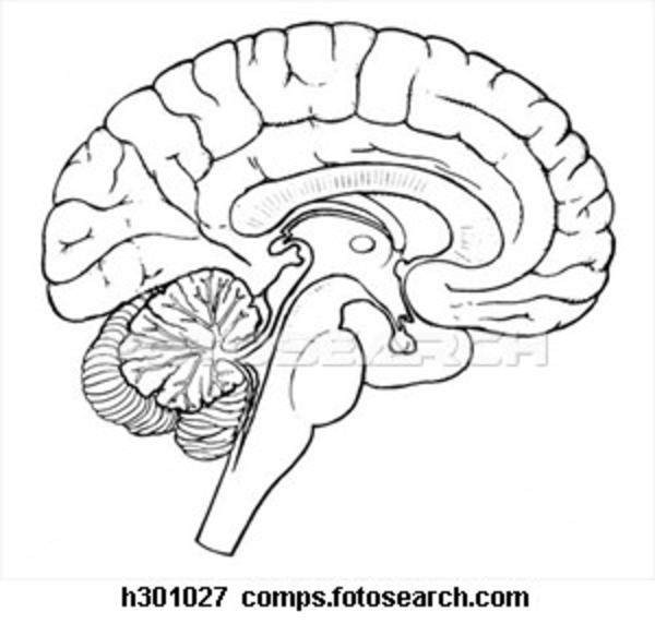 Drawing Of The Brain With Labels At Getdrawings Free For