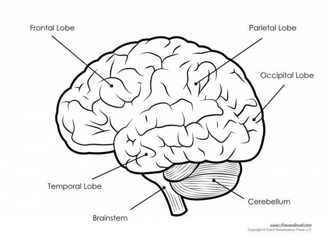 640x480 Brain Anatomy Diagram Label Image Collections