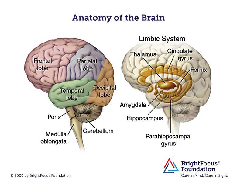 780x605 Brain Anatomy And Limbic System Brightfocus Foundation