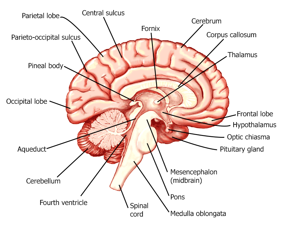 920x720 Brain Drawing With Labels