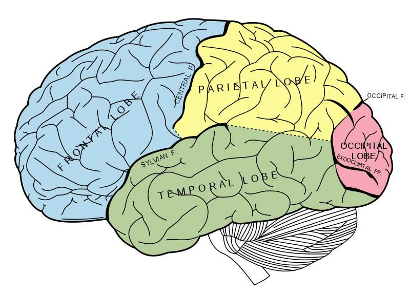 800x571 Drawing Of Brain With Labels Diagrams For All