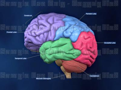 400x300 Left Lateral View Of The Brain ( Color Coded Lobes And Labels