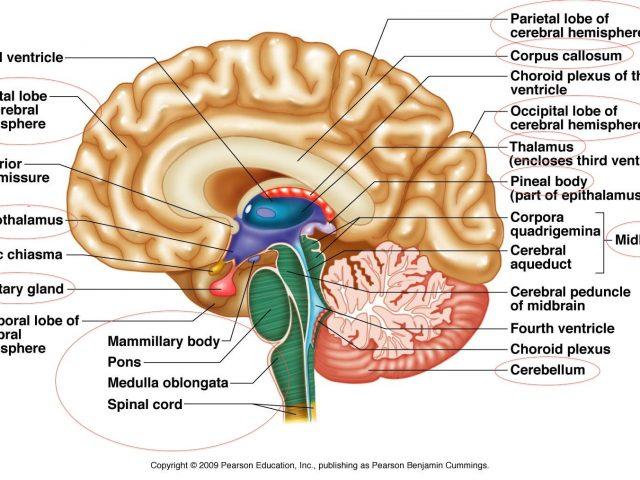 640x480 Outstanding Brain Anatomy Diagram Label Photos