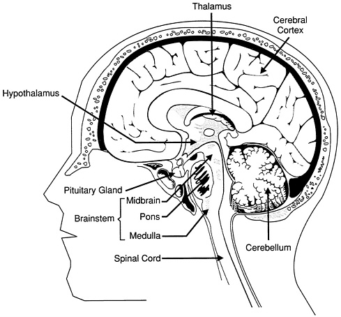 Drawing on the right side of the brain pdf at getdrawings free 489x454 2 major structures and functions of the brain discovering the ccuart Choice Image