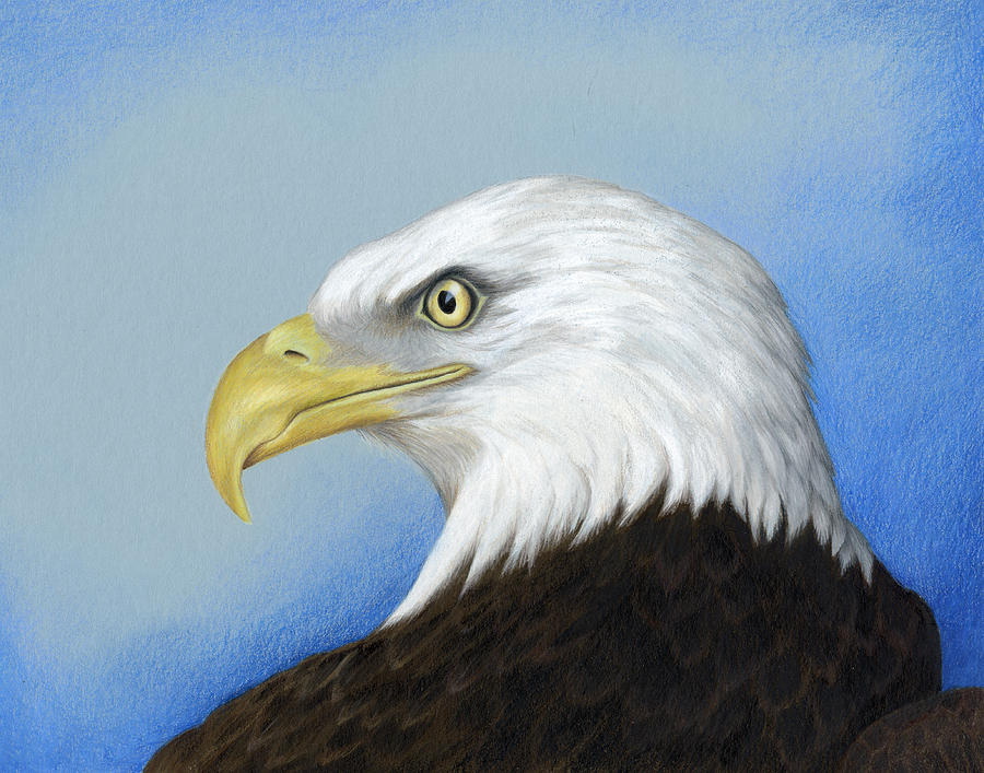 900x707 Collection Of Eagle Drawing Color High Quality, Free
