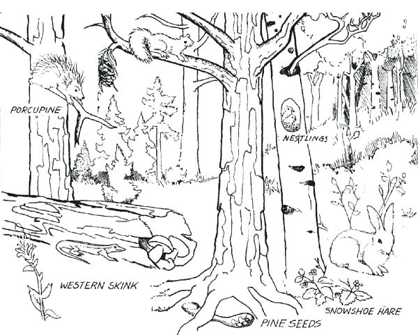 600x481 Download Coloring Pages Forest New Bobcat In The