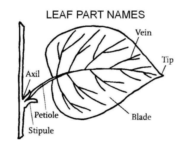 638x479 Collection Of External Structure Of A Leaf Drawing High