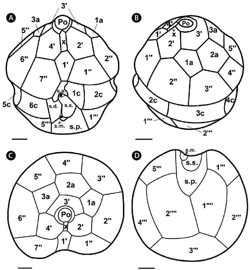 850x918 Drawings Of Motile Cells Of Scrippsiella Lachrymosa, Showing